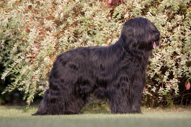 Rasa psów Owczarek francuski BRIARD