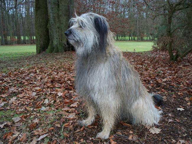 Pies rasy Owczarek kataloński