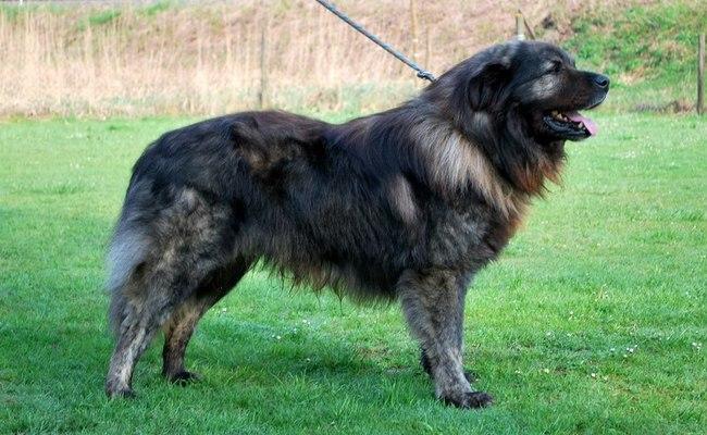 Pies rasy Owczarek z Istrii