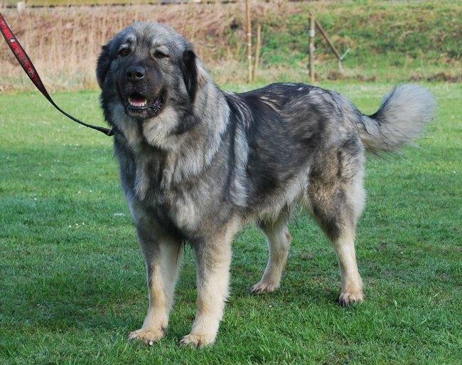 Pies rasy Owczarek kraski (kraški ovčar)