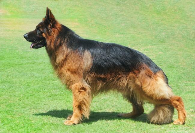 Wzorzec rasy psa Owczarka niemieckiego długowłosego