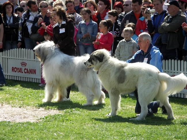 Wystawa psów rasowych - Owczarek rumuński Mioritic i Pies pasterski z Bukowiny