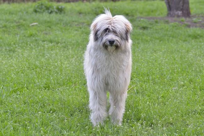 Rasa psów Owczarek rumuński Mioritic