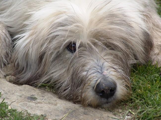 Rasa psa Owczarek rumuński Mioritic