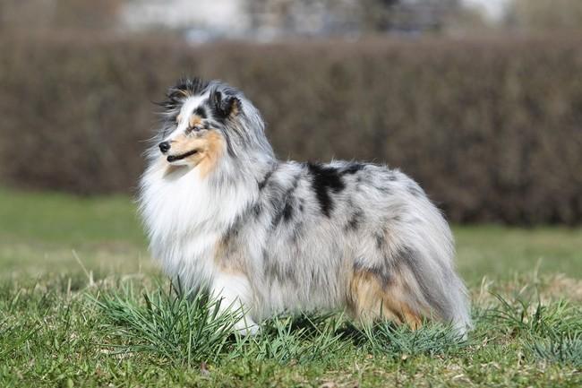 Pies na literę o owczarek szetlandzki
