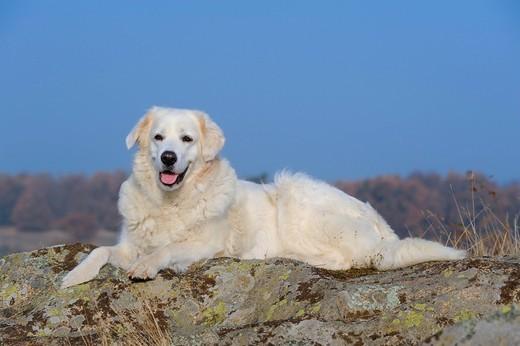 Owczarek węgierski Kuvasz należący do psów pasterskich