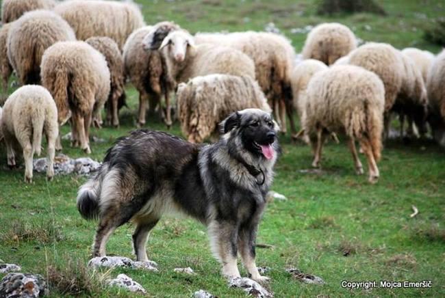 Owczarek kraski pilnujący stada owiec