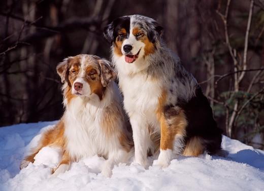 Psy Owczarki australijskie aussie