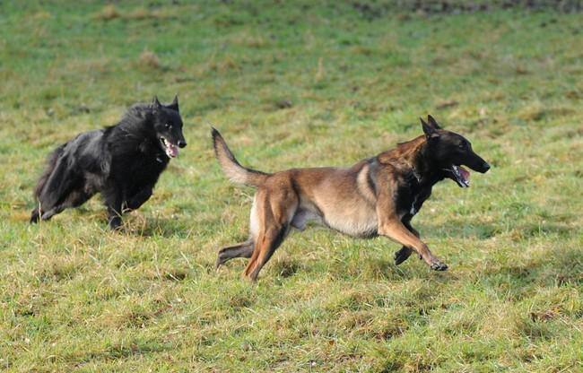Rasy psów na O Owczarki belgijskie