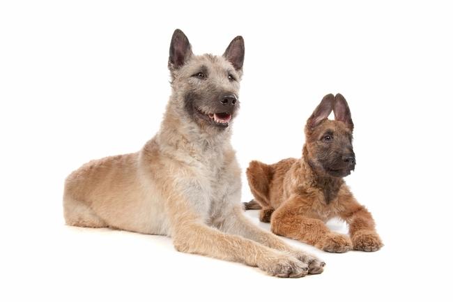 Rasa psów Owczarek belgijski Laekenois