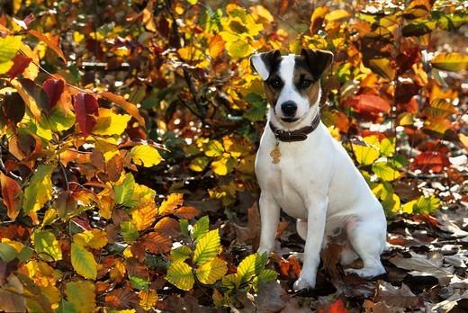 Gładkowłosy Parson Russell Terrier