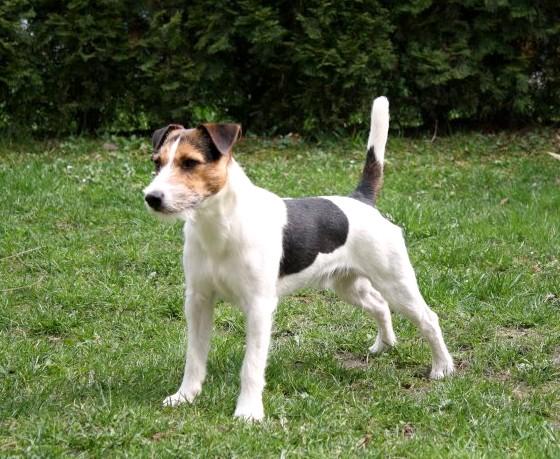 Rasa Parson Russell Terrier