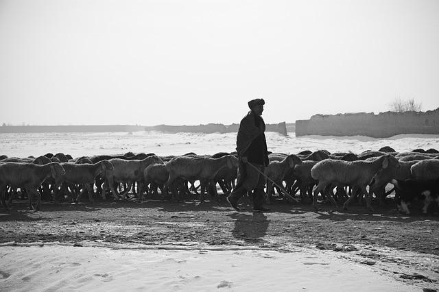 Pasterz z owcami