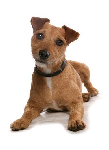 Pies Patterdale Terrier