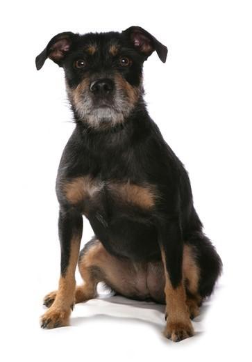 Zdjęcie przedstawiające psa rasy Patterdale Terrier