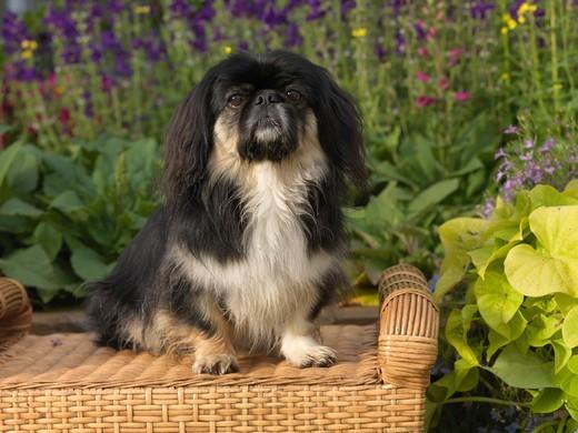 Pekińczyk jedna z najstarszych ras psów