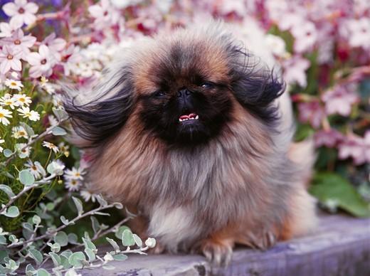 Rasa psa Pekińczyk