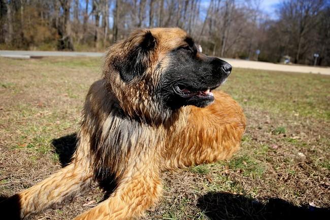 Pies rasy pasterski pies z gór Estrela