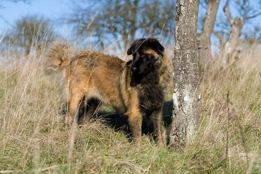 Rasa psów z Portugalii pies górski z Estrela
