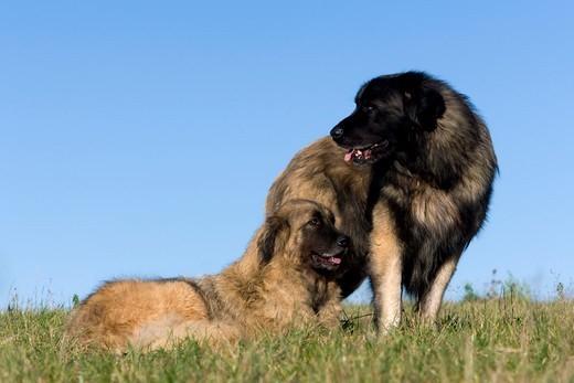 Psy rasy Pasterski pies z gór Estrela