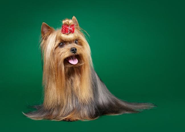 Pięknie wygladający pies rasy Yorkshire Terrier po wyzycie w salonie piekności dla psów