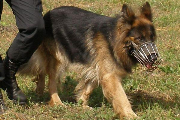 Pies pracujący w SOK