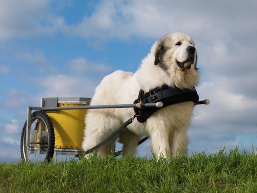 Pirenejski pies górski z wózkiem