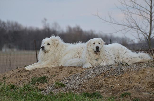 Psy Pirenejskie psy górskie