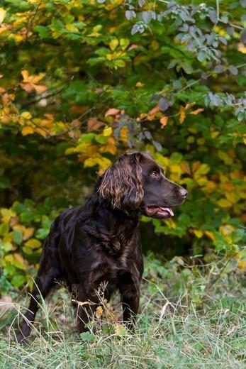 Pies rasy płochacz niemiecki (Deutscher Wachtelhund)