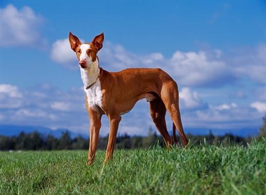 Pies rasy Podenco z Ibizy