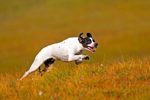 Biegnący pies rasy Pointer