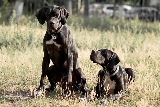 Psy Pointery na łące