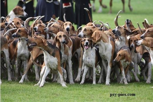 Psy Poitevin ruszające na polowanie