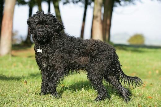 Rasa psa Portugalski pies wodny