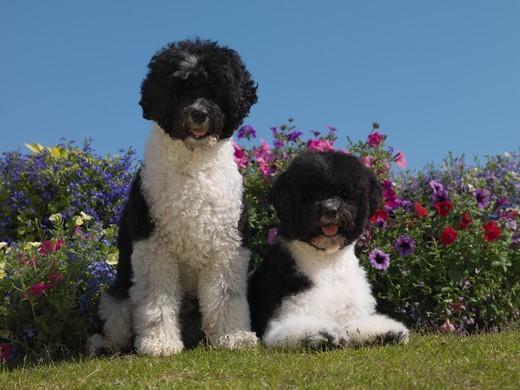 Portugalskie psy dowodne