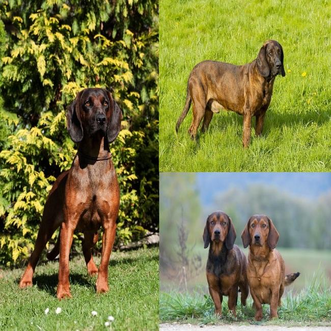 Posokowce psy od lewej Posokowiec bawarski, posokowies hanowerski i alpejskie gończe krótkonożne