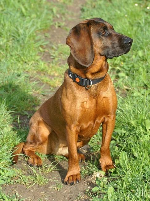 Rasa psów Posokowiec bawarski