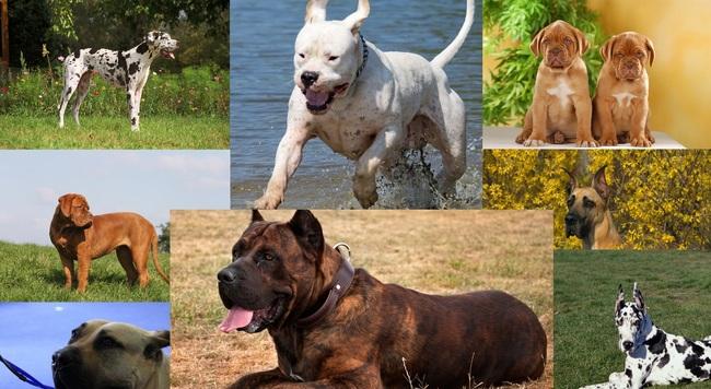 Rasy psów dogowatych