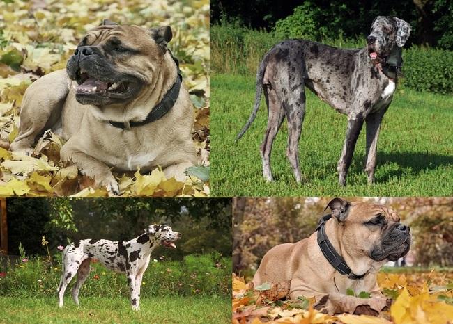 Zdjęcia psów dogowatych