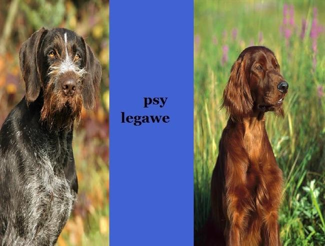 Psy legawe wyżeł niemiecki szorstkowłosy i Seter irlandzki