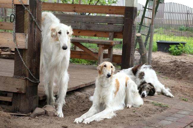 Wyśmienite psy myśliwskie Charty rosyjskie Borzoj