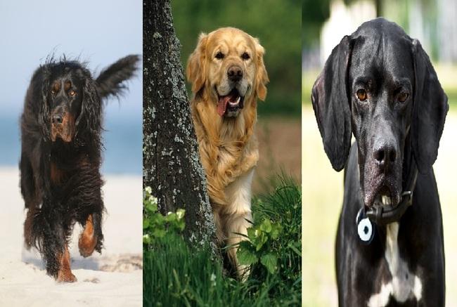 Psy myśliwskie na ptactwo od lewej Seter szkocki, Golden retriever i Pointer