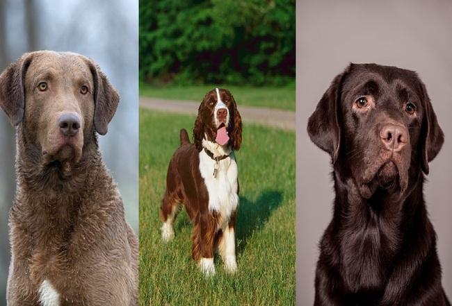 Psy myśliwskie na ptactwo od lewej Chesapeaske Bay Retriever, Springer spaniel angielski i Labrador retriever