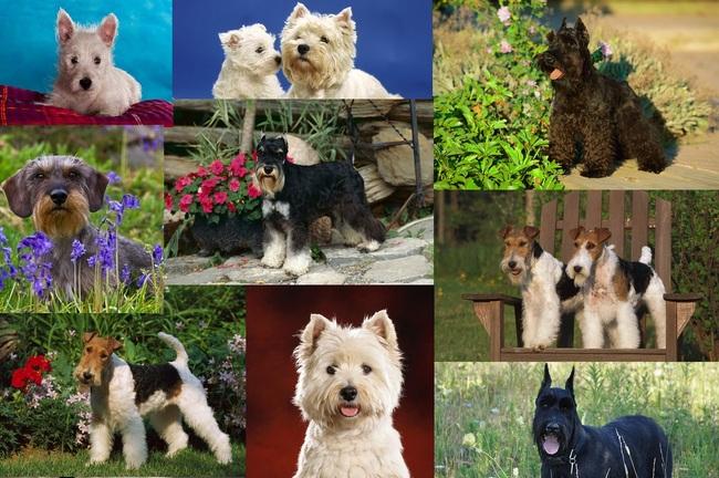 Collage ze zdjęć psów szorstkowłosych