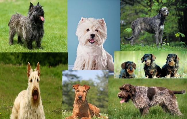 psy szorstkowłose rasy psów