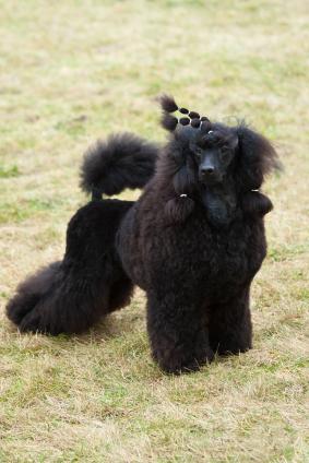 Pies rasowy Pudel miniaturowy
