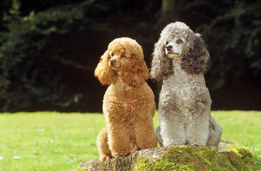 Pudle miniaturowe psy do towarzystwa