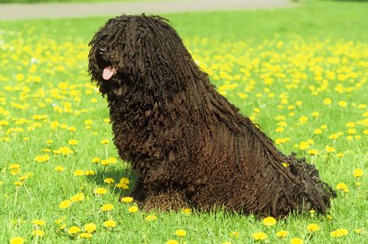 Rasa psa z Wegier