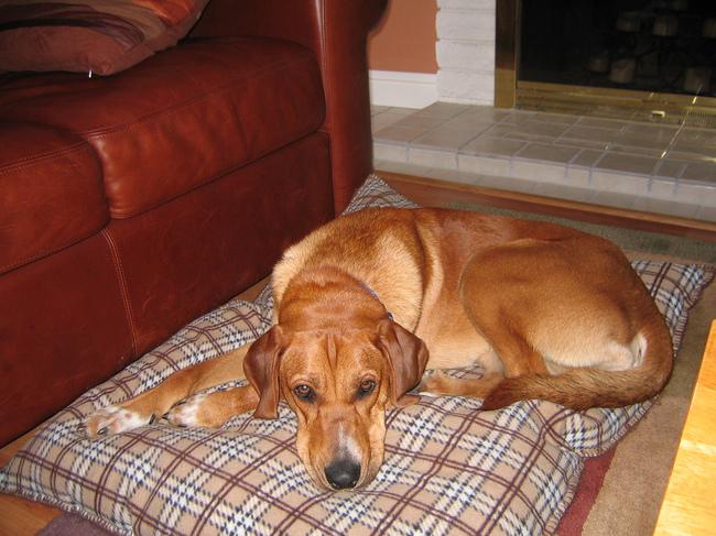 Rasa psa Redbone coonhound