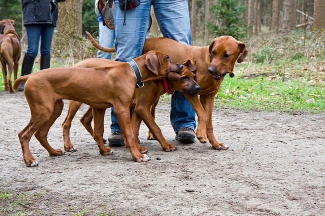 rhodesian ridgeback, RR, pies rodezjan, rasa psów, psy rodezjany